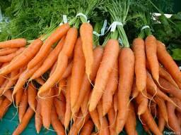 Морковь урожая 2017