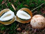 Настойка гриба Веселка!!! - фото 1