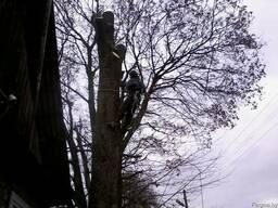 Обрезка деревьев(омолаживающая, формовочная, санитарная) - фото 2