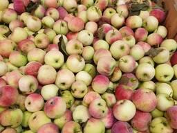 Опад яблока