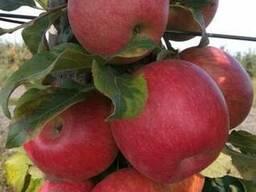 Опт яблоки с доставкой