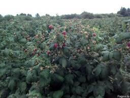 Организуем самосбор ягоды малины садовой. 1кг = 1руб.