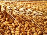 Овес, ячмень, пшеница, просо - фото 1