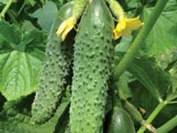 Самые свежие овощи доставка. Огурцы. Капуста и ТД.
