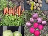 Морковь, свекла, картофель, капуста - фото 1