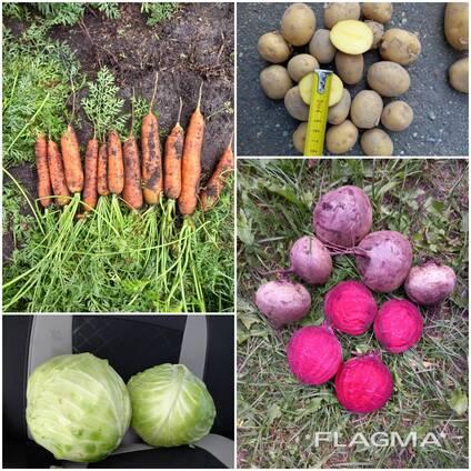 Морковь, свекла, картофель, капуста