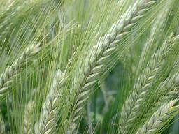 "Семена озимого третикале, сорт ""Прометей"" (1 р-с) ОПТОМ."