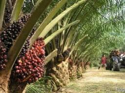 """Пальмовое масло """"Малазия"""" (Palm oil)"""