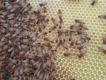 Пчеломатки плодные бакфаст - фото 2