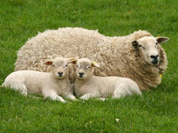 Поросята, овцы, ягнята, свиноматки
