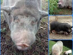 Поросята вьетнамские въетнамской вислобрюхой свиньи