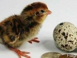 Предлагаем инкубационное яйцо перепела с доставкой по РБ.