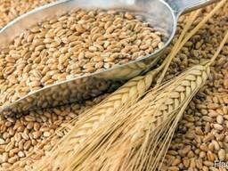 Предлогаем зерно