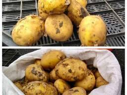 Продаем картофель свежий ранний Украина, урожай 2021г.