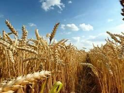 Закупаем зерно фуражное по Беларуси, 2021 года