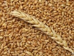 Продаем пшеница продовольственная