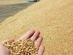 Продаем Пшеницу фураж/ продовольственная