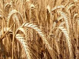 Продаем зерно фуражное (овес, тритикале). Оптом.