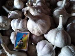 Продам чеснок урожай 2019