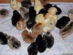 Продам цыплят домашних цветных