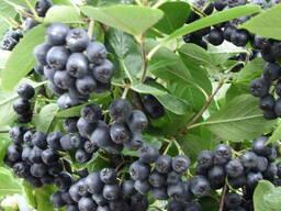 Продам саженцы Рябины (Арония) черноплодной