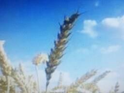 Продажа зерна, ячменя, овса, силаса и комбикорма. Доставка грузов 10-40тн