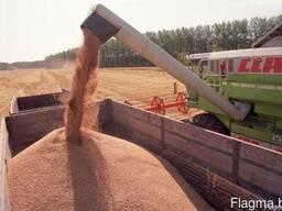Пшеница фуражная/продовольственная 3, 4,5 класс, 20тыс. тонн