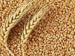 Пшеница фуражная, ячмень фуражный - фото 1