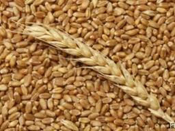 Пшеница продовольственная 4 класс