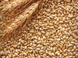 Пшеница продовольственная, фуражная