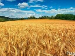 Пшеница, рожь, тритикале, ячмень