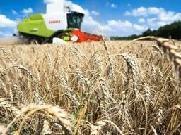 Пшеница, ячмень, тритикале, овес. Недорого. Доставка
