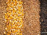 Пшеницу, ячмень, тритикале, овес, кукурузу - фото 1