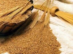 Пшеницу фуражную