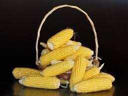 РАМ 1333 - семена кукурузы (украинская селекция)