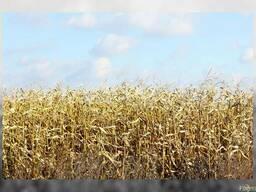 Закупаем фуражную пшеницу, тритикале, овес.