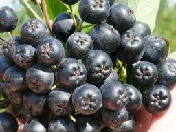 Рябина черноплодная «Викинг»