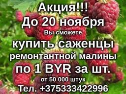 Саженцы малины «Полька»