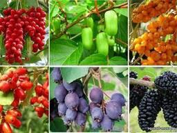 Саженцы плодовых деревьев и кустарников.
