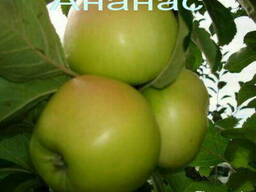Саженцы плодовых и подвои яблони