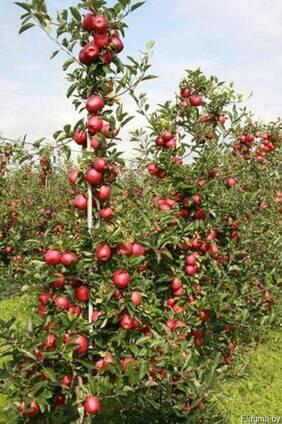 Саженцы плодовых крупномеры 3-5 лет