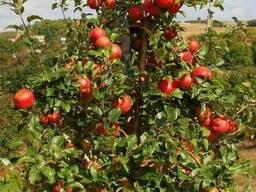 Саженцы плодовых крупномеры 3-5 лет - фото 2