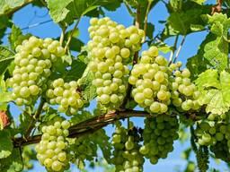 Саженцы винограда столовых сортов ранних сроков созревания