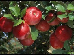 Саженцы яблони - фото 1