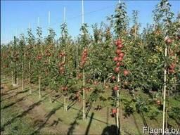 Саженцы яблони - фото 3