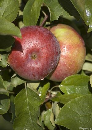 Саженцы яблони Алеся