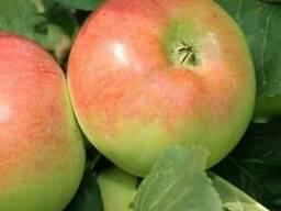 Саженцы яблони Ауксис - фото 2