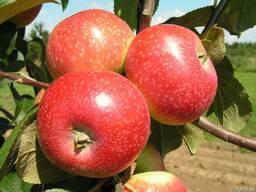Саженцы яблони Елена - фото 2
