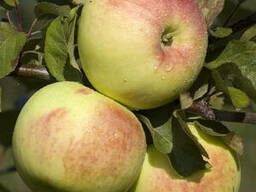 Саженцы яблони Имрус