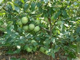 Саженцы яблони Каштеля (Польское сахарное)